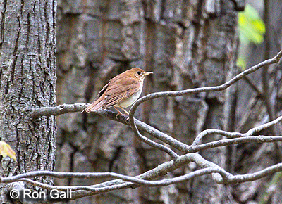 Veery - © Ron Gall