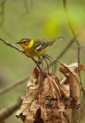Cape May Warbler © Ron Gall