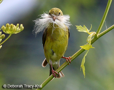 Female American Goldfinch gathering nesting material