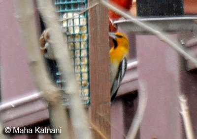 Bullock's Oriole - the black throat nicely shows in this image