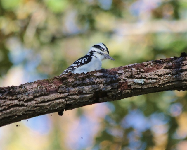 Hairy Woodpecker © Eileen Albro Stickle