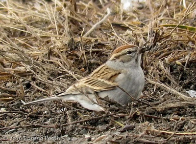 sparrow_chipping_carena43914961_c400