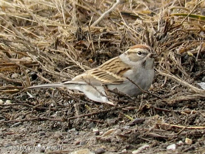 sparrow_chipping_carena43914981_c400