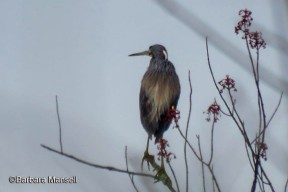 4 21 2019 Tricolored Heron (Egretta tricolor) - Ralph T  Waterman