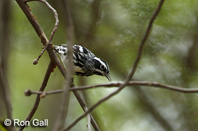 Black and white Warbler  © Ron Gall