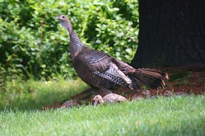 Wild Turkey and poults © Maha Katnani