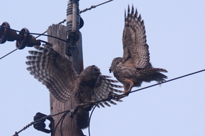 Barred Owls © Maha Katnani