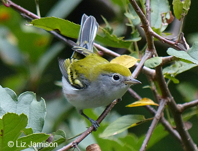 Chestnut-sided Warbler (Fall)