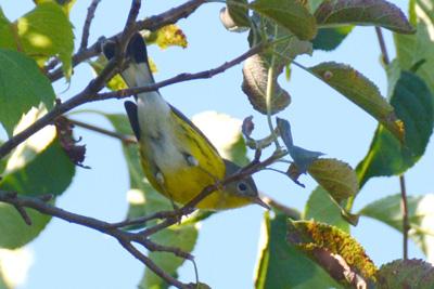 Magnolia Warbler © Maha Katnani