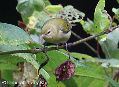 Tennessee Warbler (Fall)