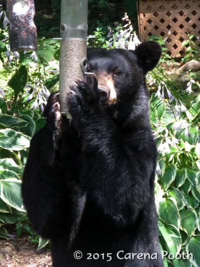 Black Bear - Poughquag