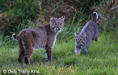 Bobcat with kitten - Millbrook