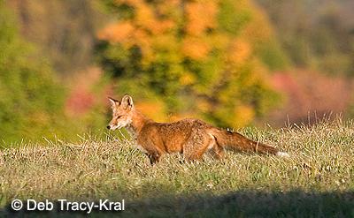 Red Fox - Stanfordville