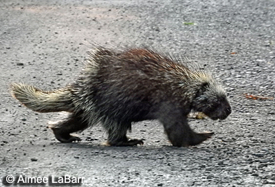 Porcupine - Minnewaska State Park