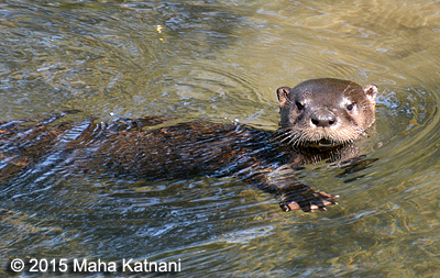 River Otter - Millbrook