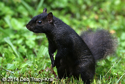 The Black Squirrel is a melanistic color morph of the Gray Squirrel and is now more commonly seen in Dutchess County. http://www.dec.ny.gov/docs/administration_pdf/squirrels.pdf